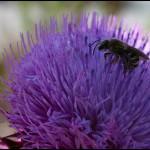 albinuta-floare-mov