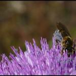 albinuta-floare-mov-2