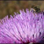 albinuta-floare-mov-3