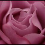 trandafir-mov