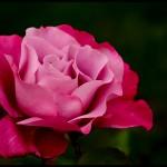 trandafir-mov1
