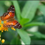 fluture15