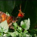 fluture17