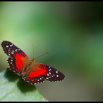 fluture6