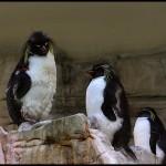 pinguini11
