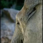 profil-de-elefant