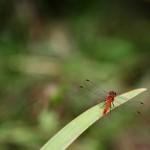 libelula-rosie1