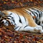 sleeping-tiger1