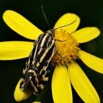 fluture-galben1