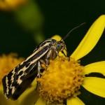 fluture-galben2
