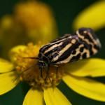 fluture-galben4
