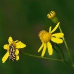 fluture-galben6