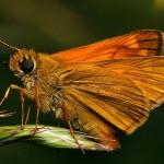 fluture-portocaliu