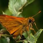 fluture-portocaliu2