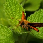 fluture-portocaliu3
