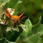 fluture-portocaliu4