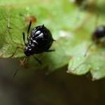 larve11
