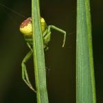 paianjen-acrobat5