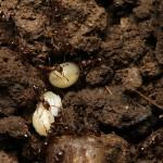 larvefurnici