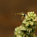 Hover-fly3