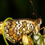 Fluture2