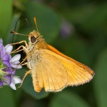 Fluture (6)