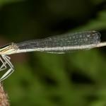 Libelula (1)