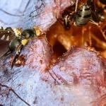 Muste si furnici (2)