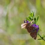 Fluture (11)