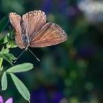 Fluture (14)