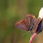 Fluture (17)