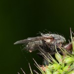 Musca (1)