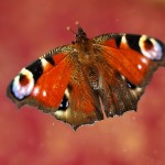 Fluture (1)