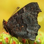 Fluture (2)