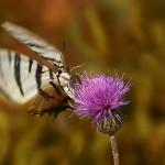 Fluture1.jpg (9)